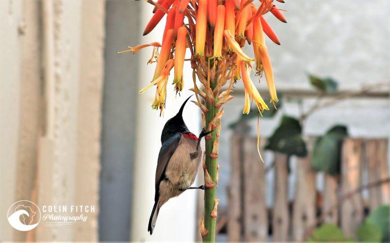 Male Humming bird