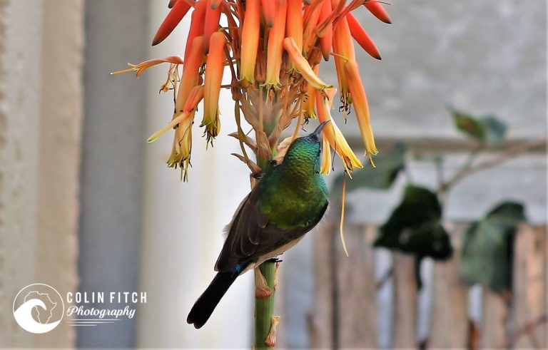 The very colourfull Male Humming Bird. No make up needed.