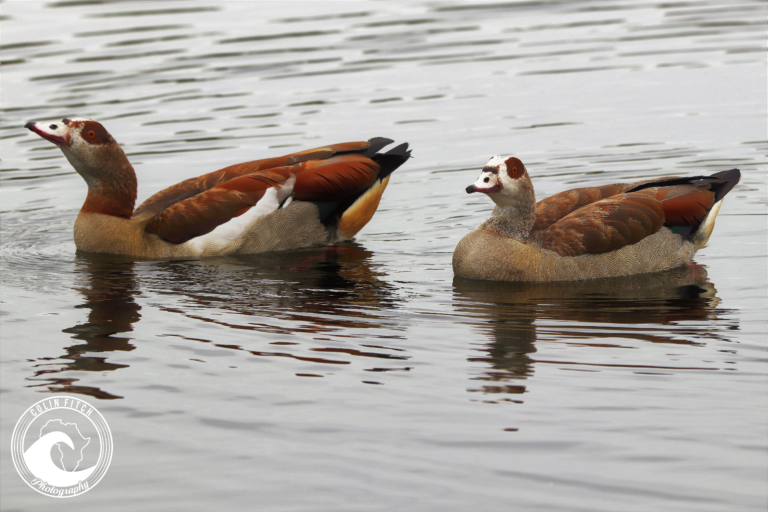 A pair of Egyptian Geese