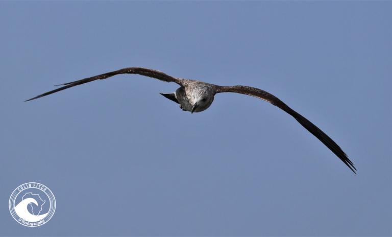 Graceful in flight - Cape Town Harbor.