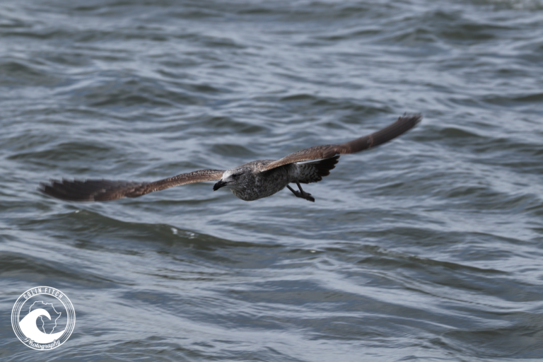 Just gliding - Seagull - Cape Town Harbor.