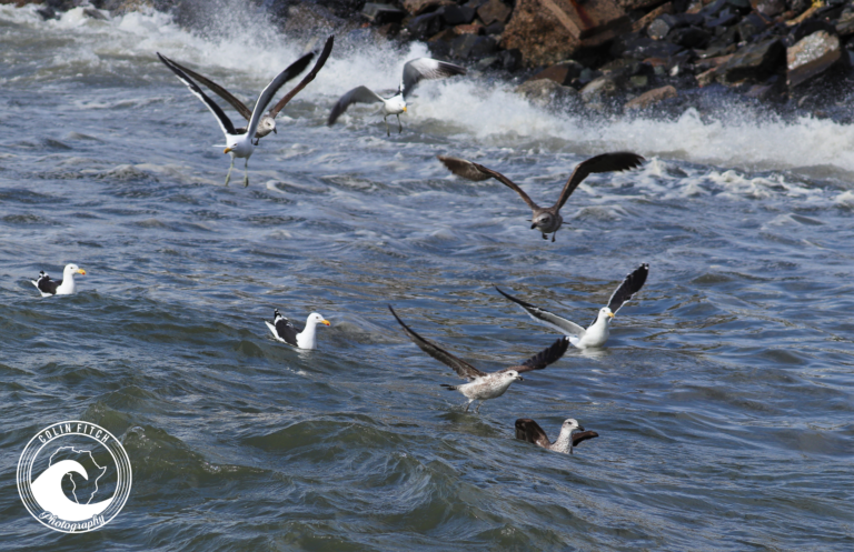 A gathering of the Gulls - Cape Town Harbor.