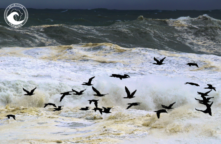 Cormorants in mass at Mouille Point - Cape Town Storm