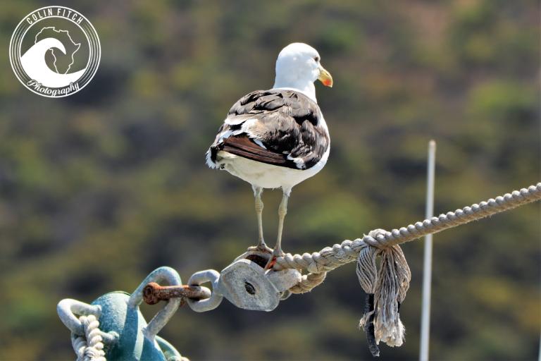 Kalk Bay Harbour Seagull2.