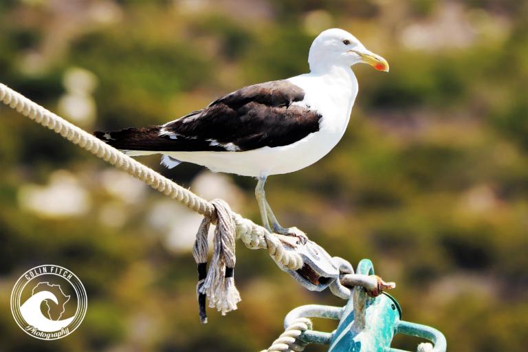 Kalk Bay Harbour Seagull 1.