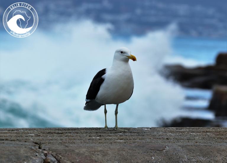 Kalk Bay Harbour Seagull - 3