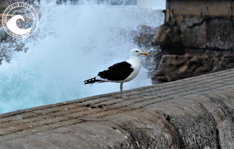 Kalk Bay Seagull 7.