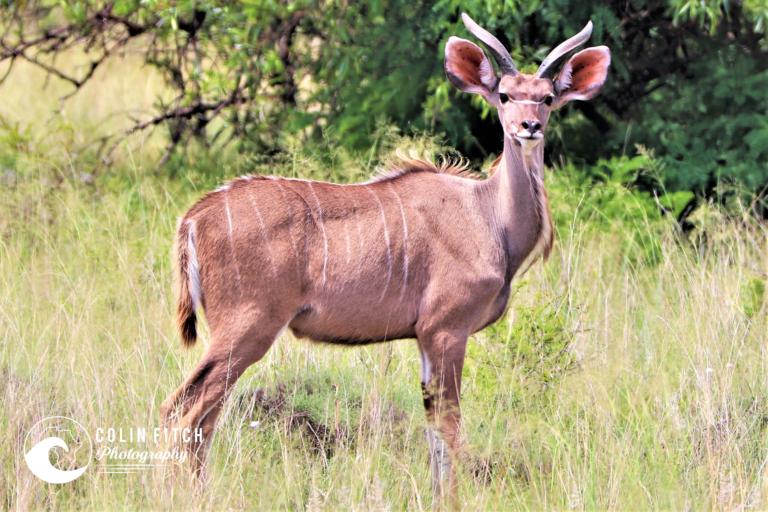 Young Male Kudu.