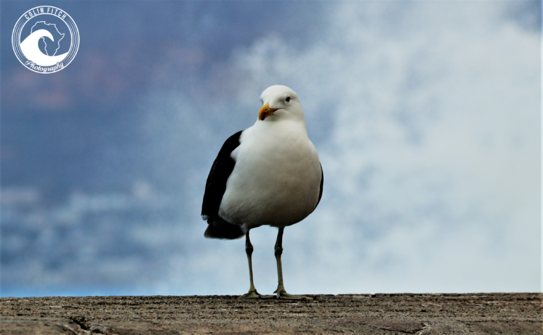 Kalk Bay Harbor Seagull 5