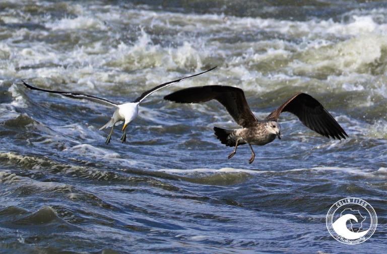 Sea Gulls - Cape Town Harbor 1.