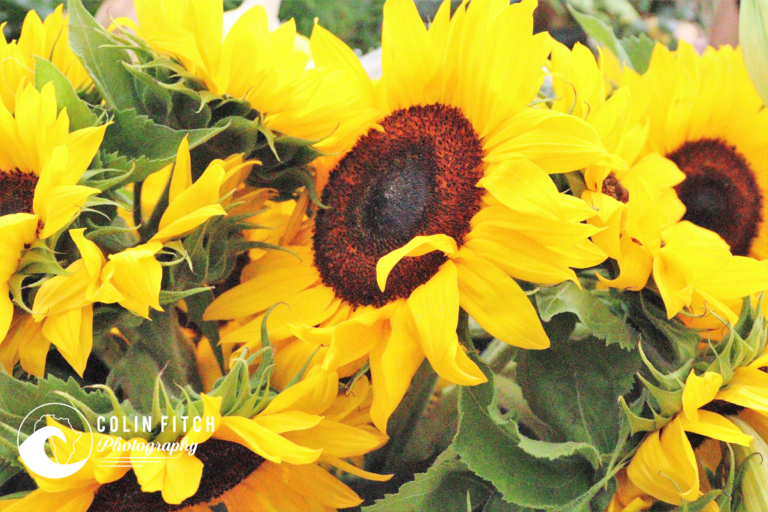 The sunflower must be the most wonderful flower in the world that constantly tracks the sun.
