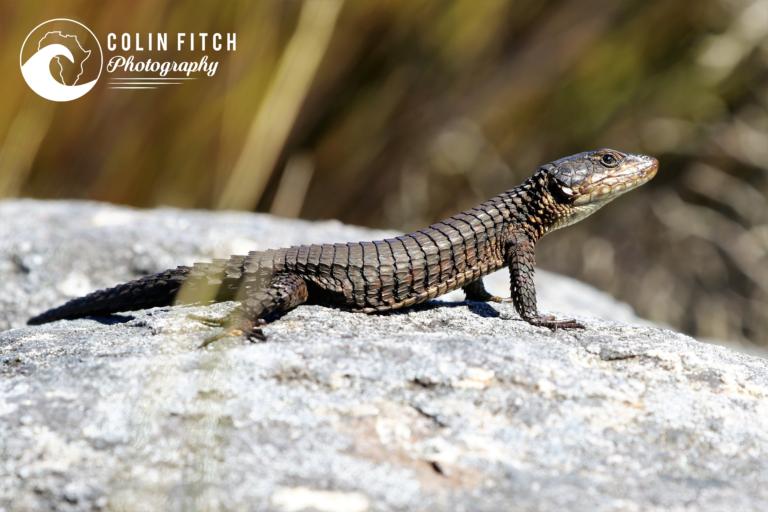 Table Mountain Lizard