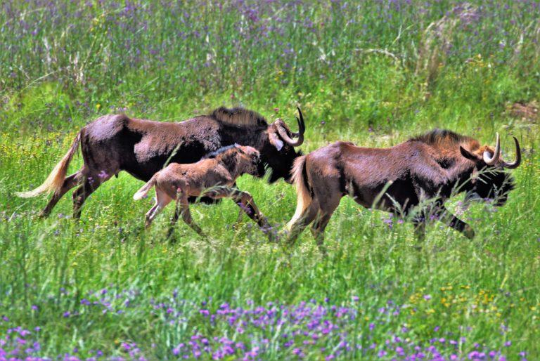 Wildebees on the Run